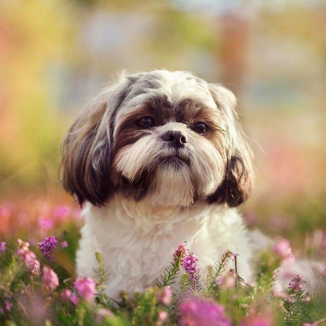 Shih Tzu Dog Breed Information Dog Breeds That Dont Shed Hypoallergenic Dog Breed Dog Breeds
