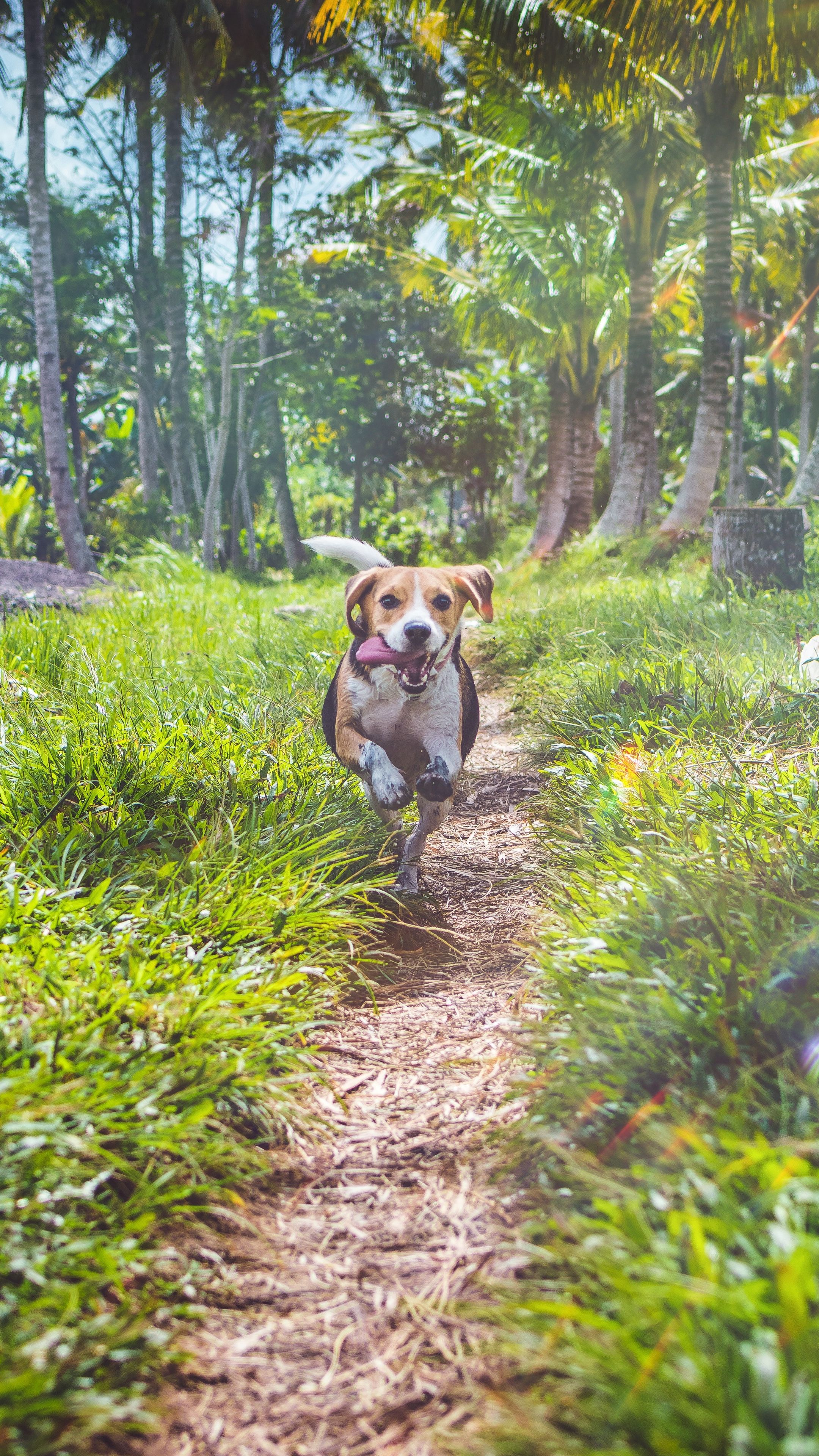 Animals Beagle Dog Running Wallpapers Hd 4k Background For