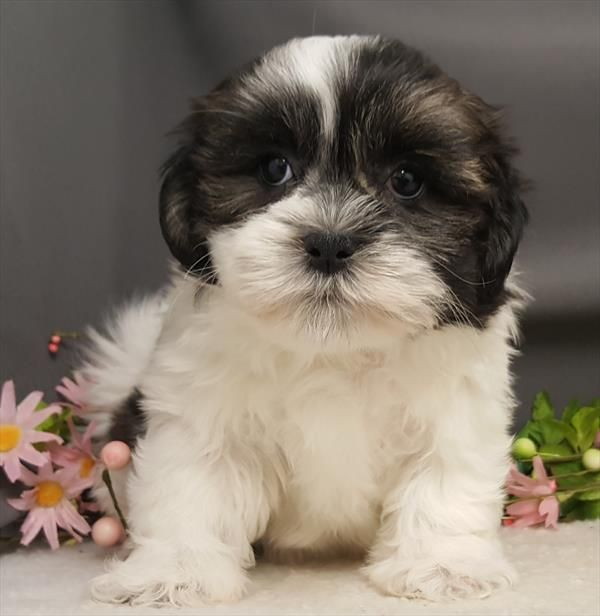 Puppies For Sale Long Island NY (631) 6245580 Puppies