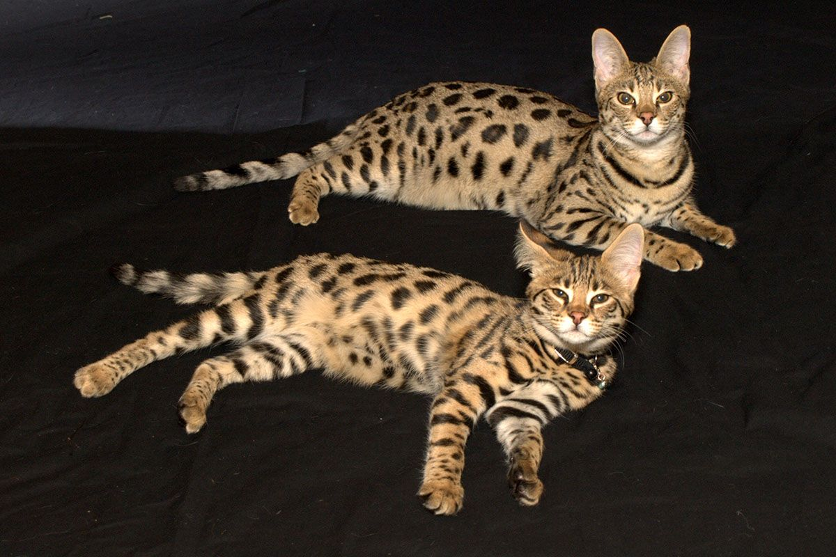 Wallpaper Baby Savannah Cats Savannah Cat Cats And Kittens