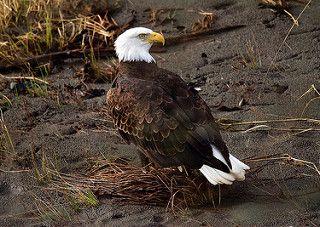 Bald Eagle   da jerrygabby1