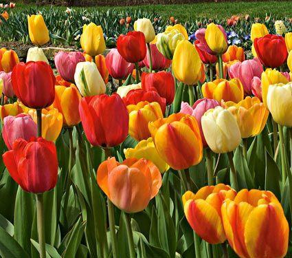 Classic perennial tulip mixture white flower farm flower farm and classic perennial tulip mixture white flower farmwhite mightylinksfo Gallery