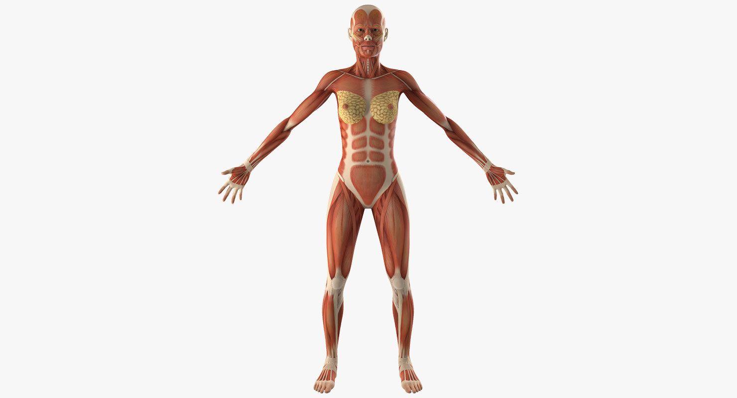 Female Muscular Anatomy 3d Model 3d Anatomy Anatomy 3d Anatomy