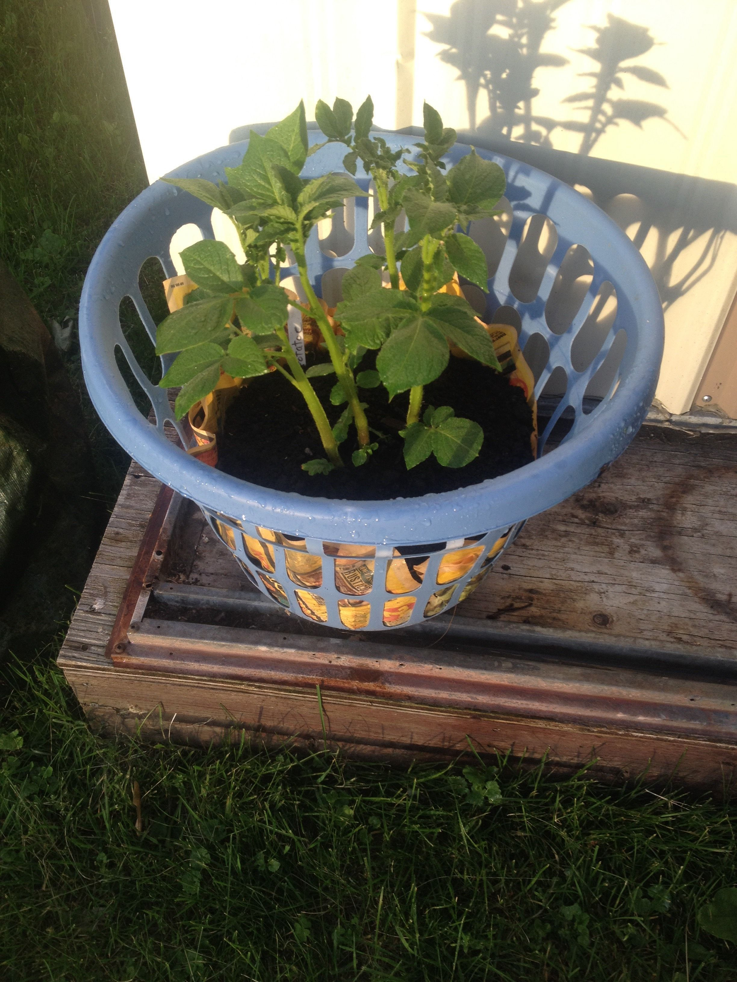 Growing Potatoes In A Laundry Basket Steemit