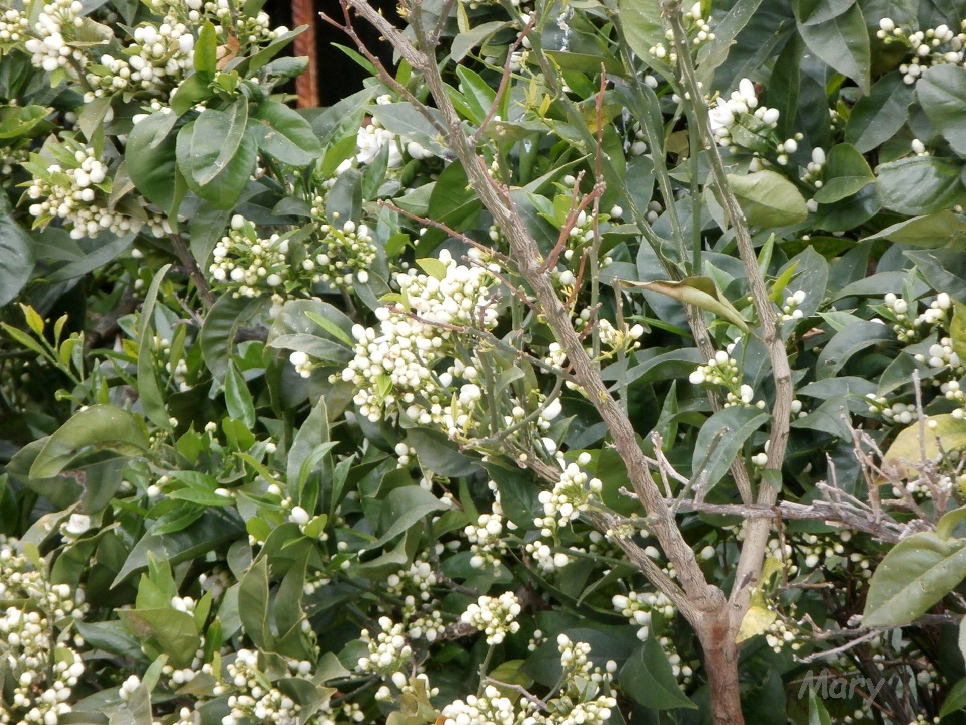 Naranjo en flor (8-abril-2015)