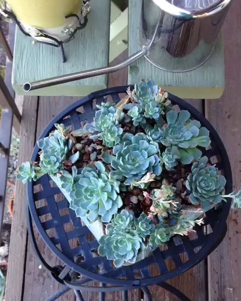 Photo of Properly watering your succulents