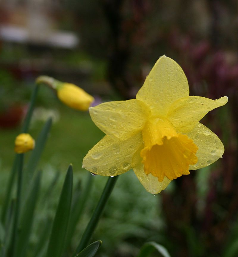 Pin By Alba Lee On Eleventh Board Poisonous Plants Daffodil Flower Daffodils