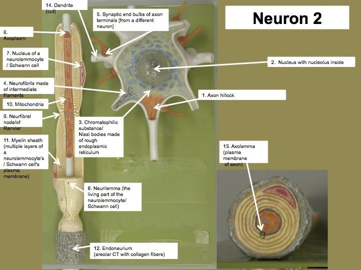 Image result for neuron model | anatomy and physiology | Pinterest