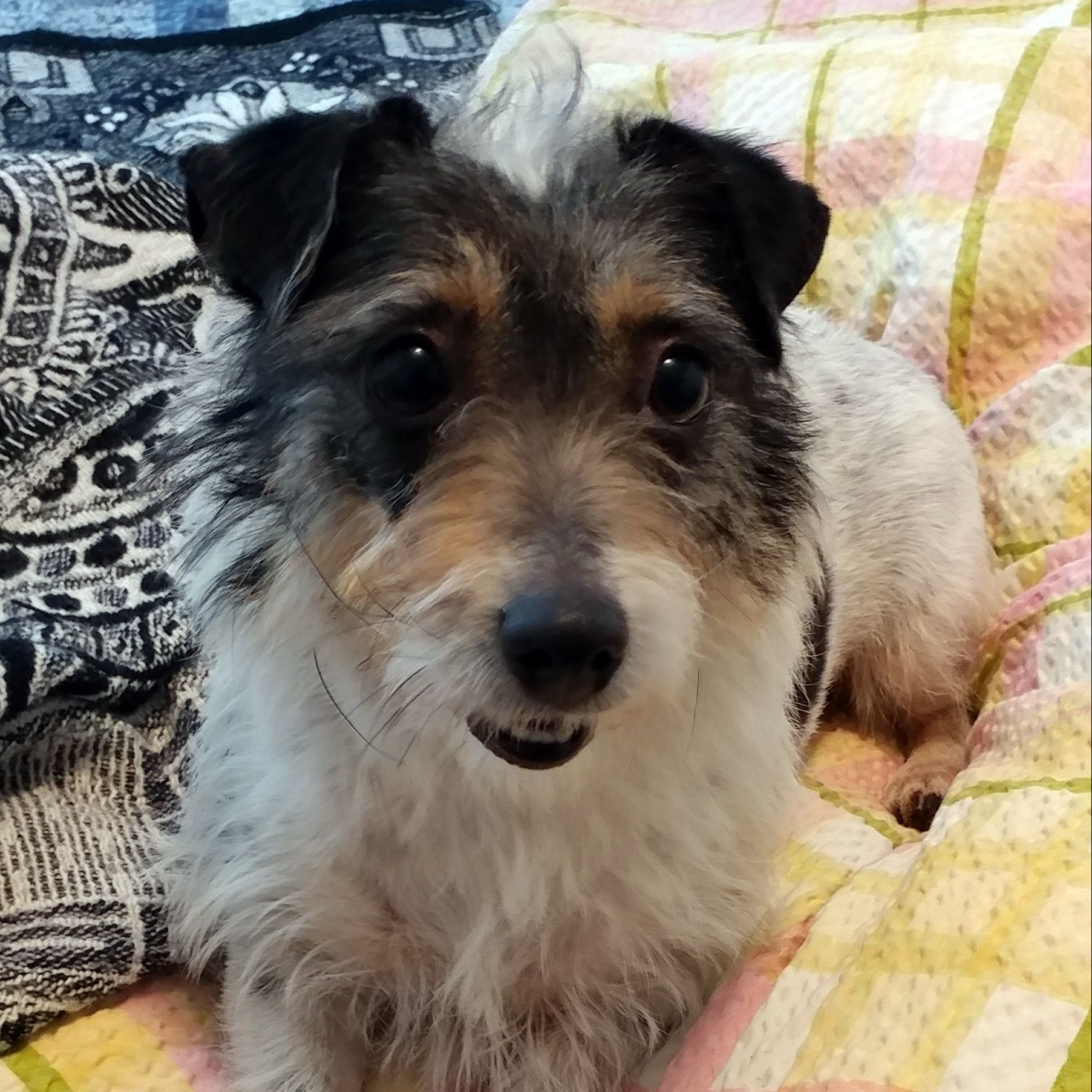 Jack Russell Terrier dog for Adoption in St. Louis Park