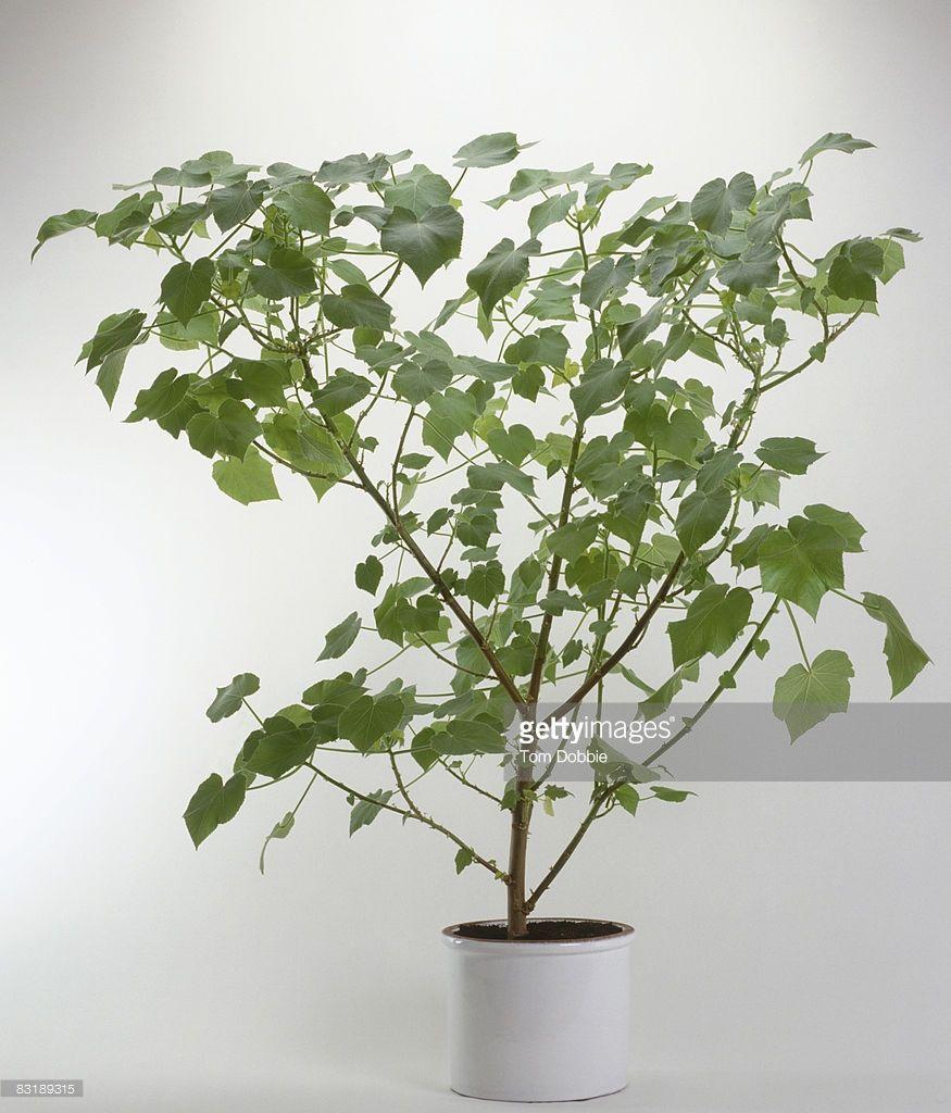Sparmannia africana ~ Indoor Lime ~ Zimmerlinde ~ Kamerlinde ...