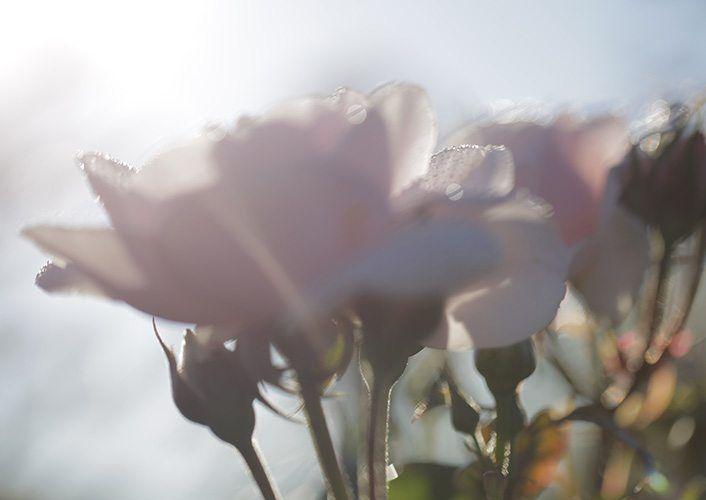 Granville Rose