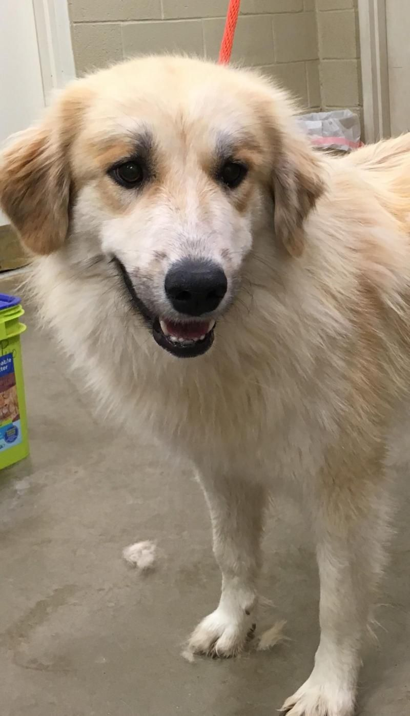 Adopt Blanca On Great Pyrenees Shelter Dogs Animals