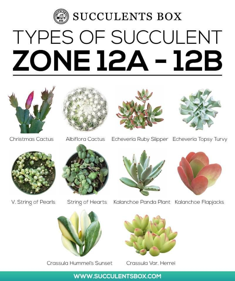 Types Of Succulents For Zone 12 Sukkulenten Terrarium Pflanzen Kakteen Und Sukkulenten