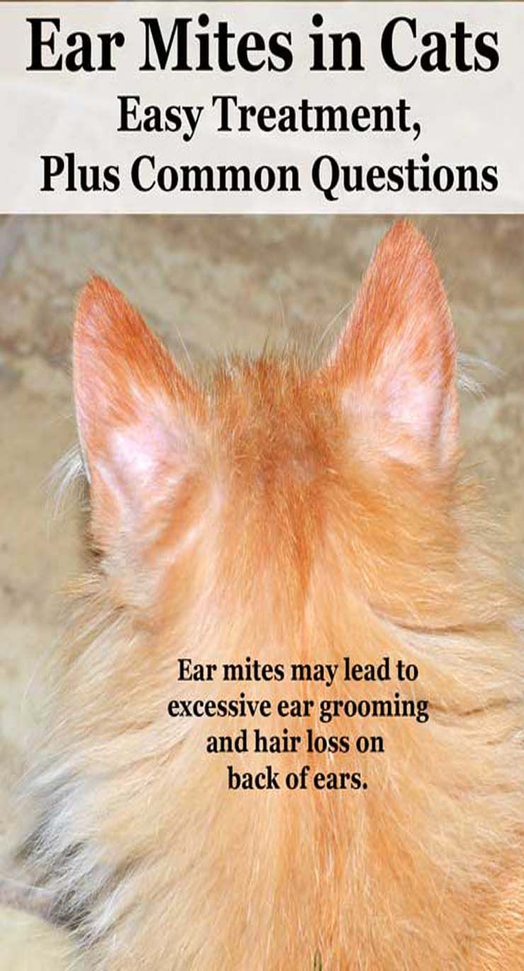 Ear Mites In Cats Cat Guides Cat Skin Cat Ear Mites Cat Remedies