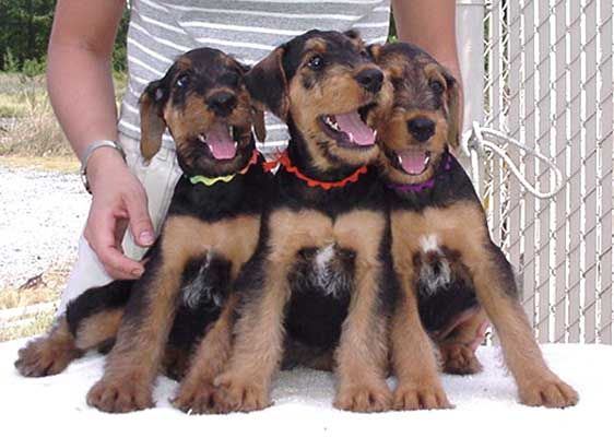 Joval Airedales Puppy Page Breeder Of Top Quality Airedale
