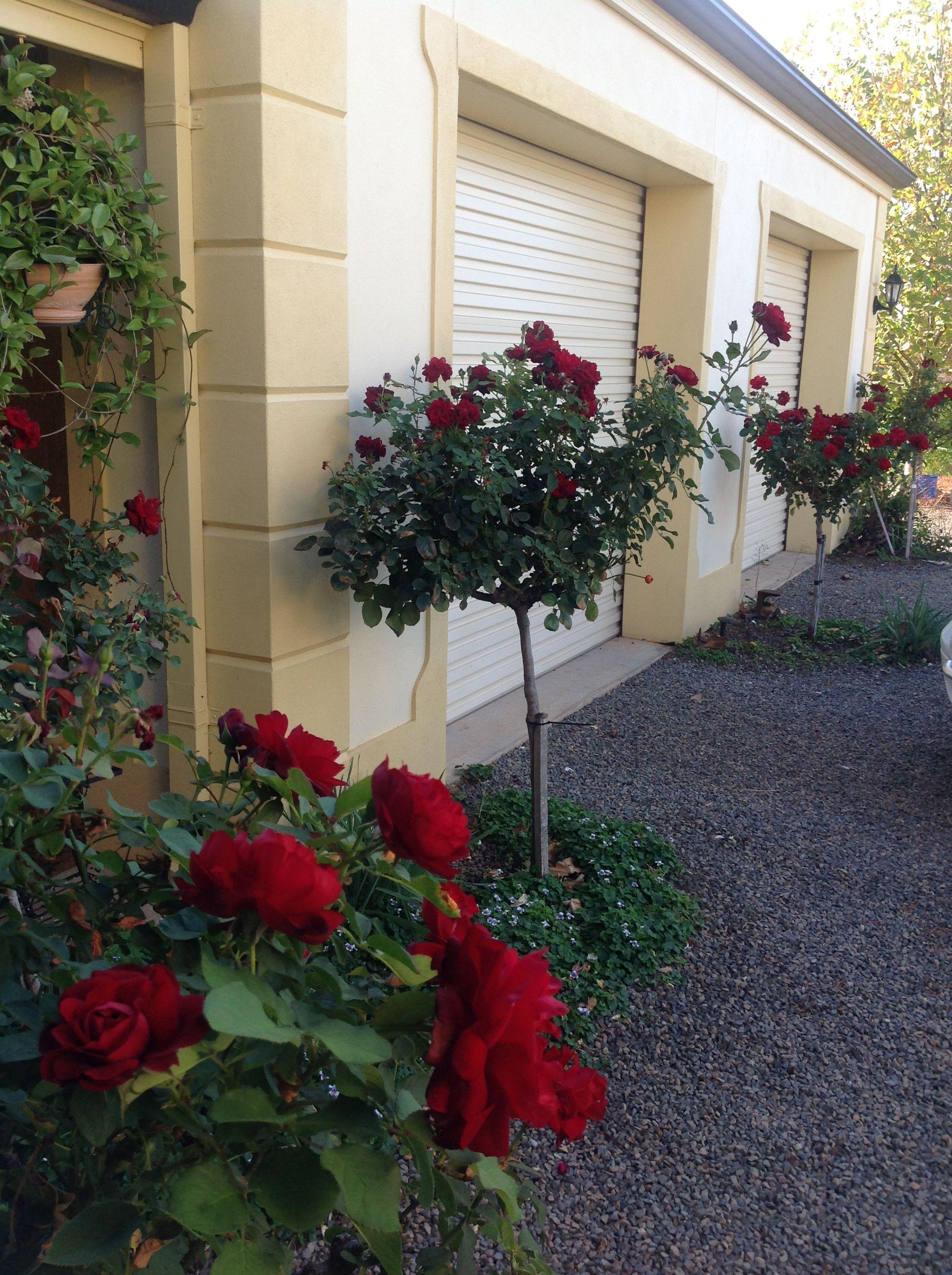 Lili Marlene Standard Roses Standard Roses Flower Garden Front Garden
