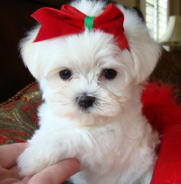 Too Cute Yorkie Poo Puppies Maltipoo Puppy