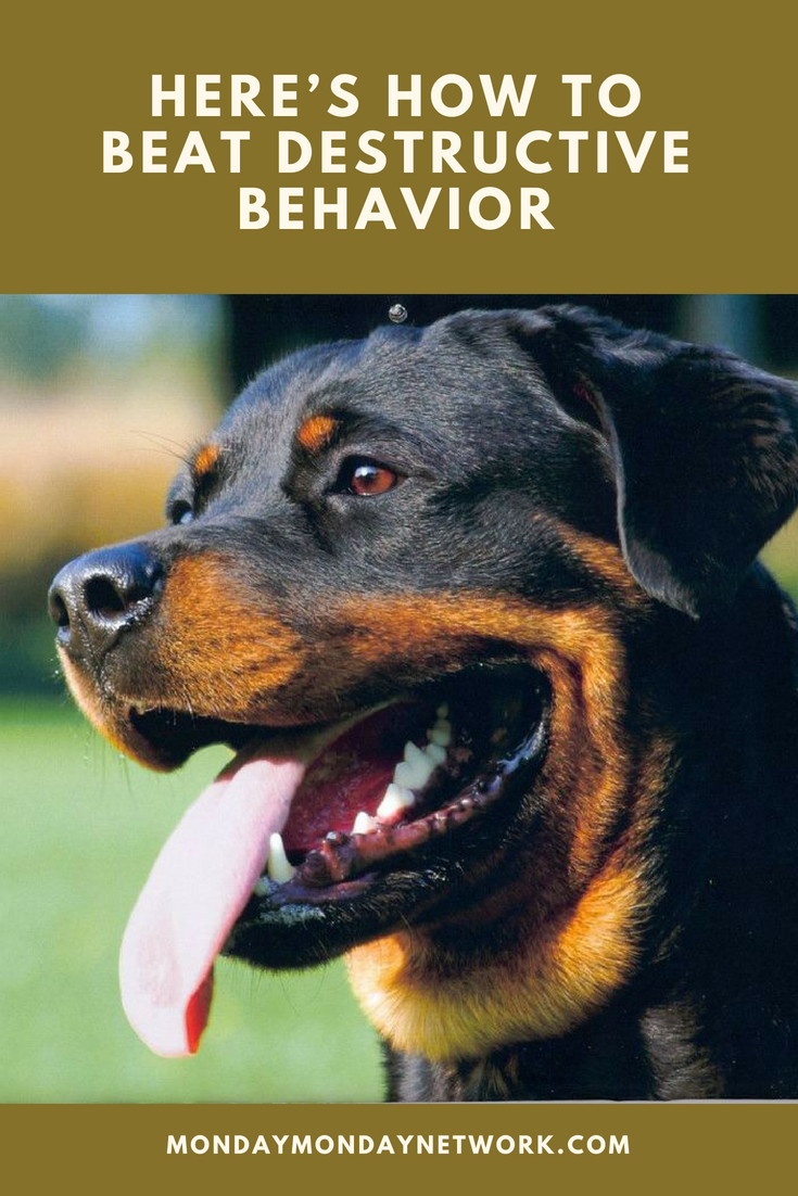 Music To Relax Rottweilers Heres How To Beat Destructive Behavior