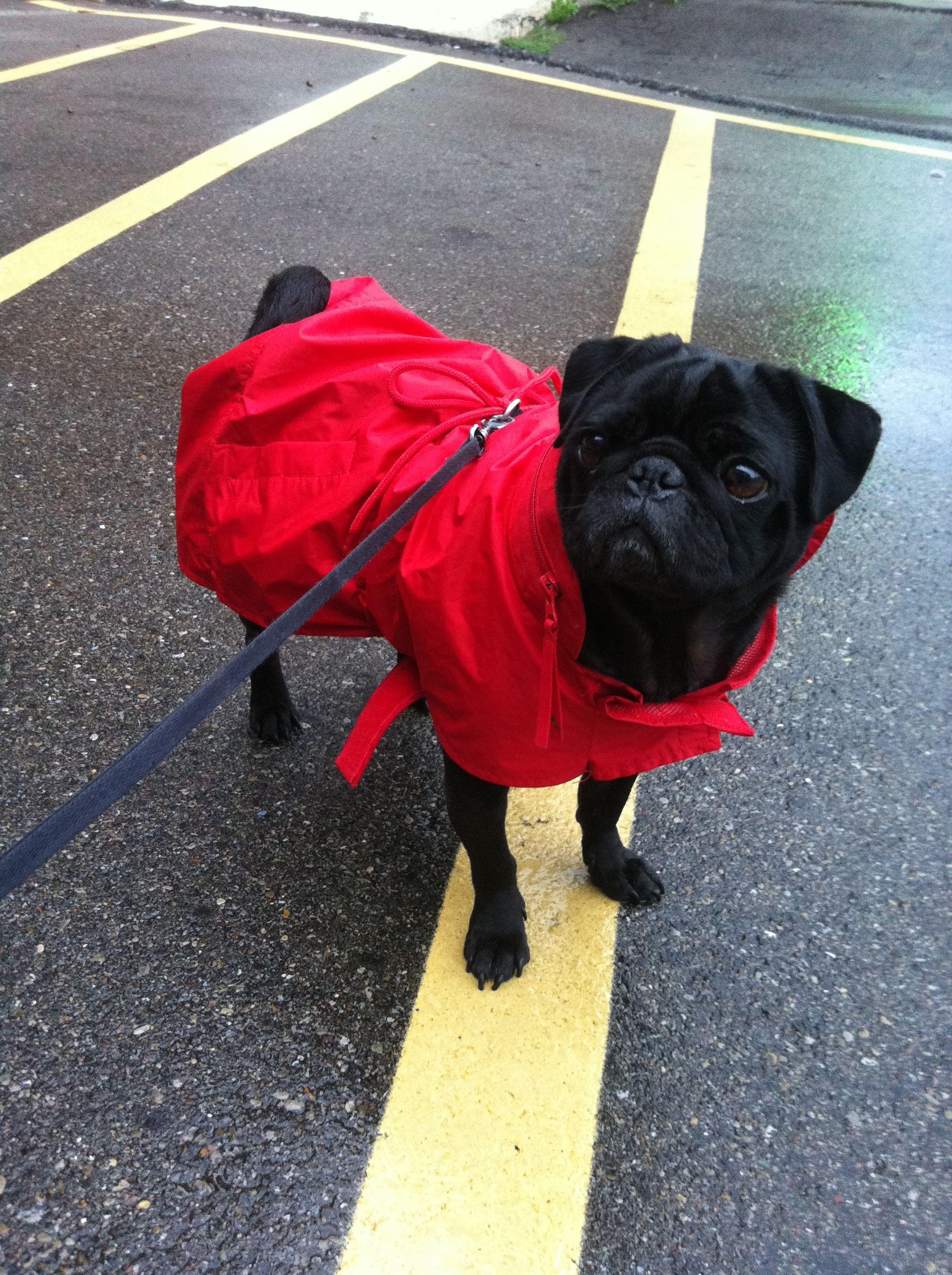 In Her Red Rain Coat Pug Love Black Pug Pug Dog