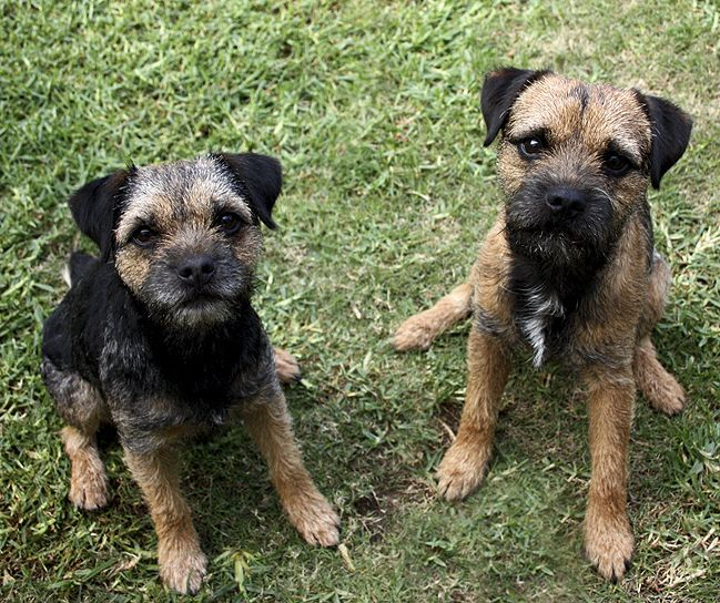 Border terriers! (With images) Border terrier, Border