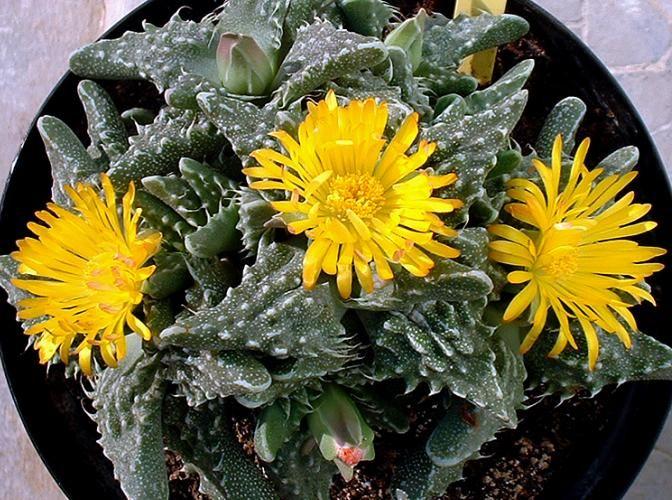 Faucaria Tuberculosa Flowers In Late Summer