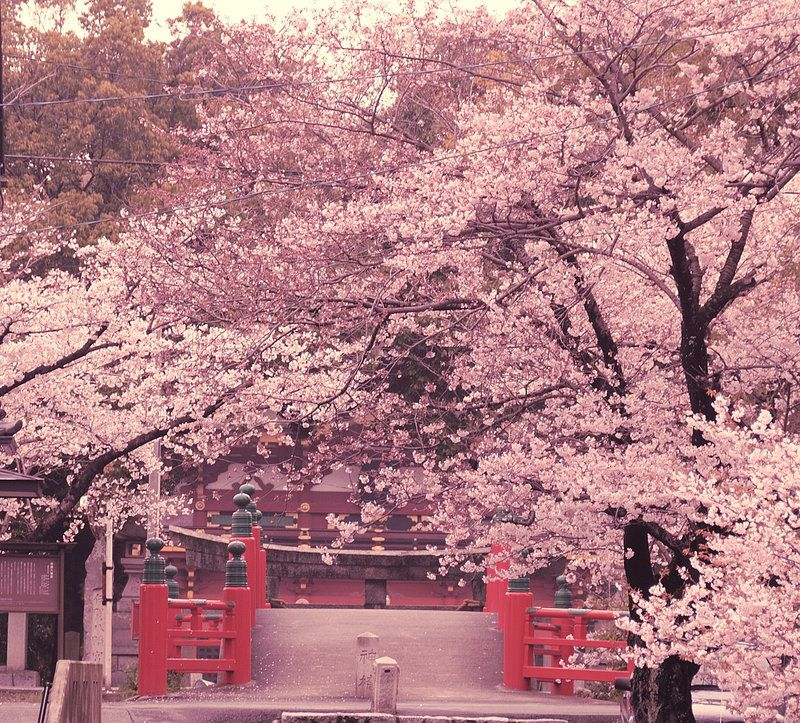 Cherry Blossom Japanese Cherry Blossom Japanese Nature Cherry Blossom Japan