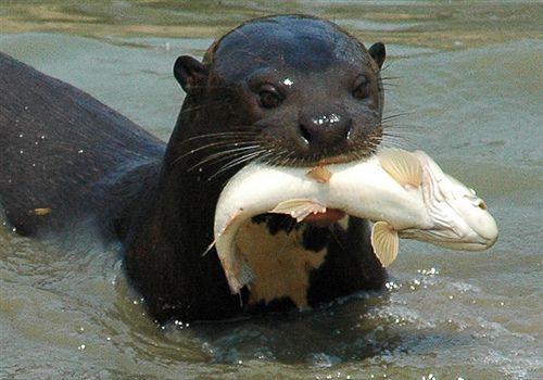 Giant Otter Otters Otters Cute Amazon Rainforest Animals