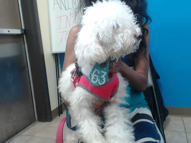 This is SNOWBALL IDA541258 Came in with TEDDY BEAR ID