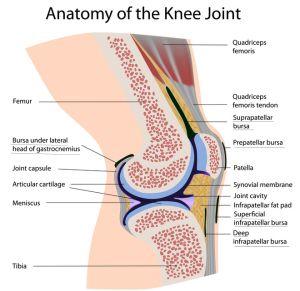 Bursitis of the knee pinterest medical coding beating bursitis anatomy ccuart Choice Image