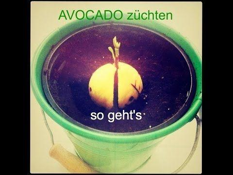 Avocado anbauen und pflanzen – Tipps für den Stadtgarten – Neueste Dekoration #av …