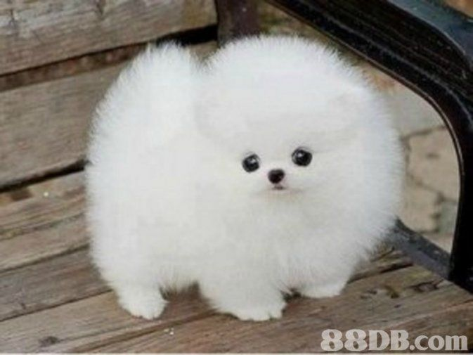 Pomeranian Puppies For Adoption In Singapore Cute Animals Puppies Cute Baby Dogs Cute Dogs And Puppies