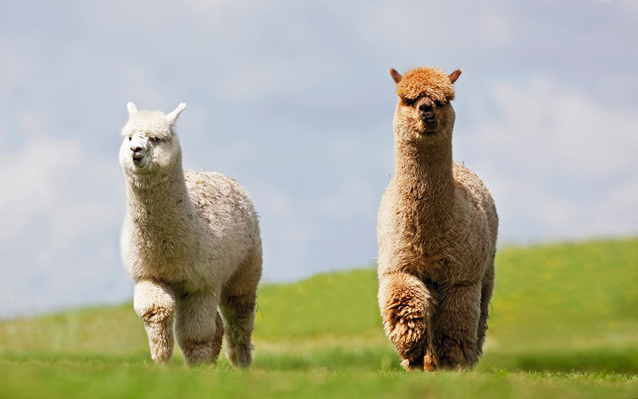Llama Picture Llama Desktop Wallpaper Free Wallpapers