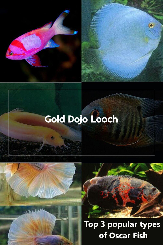 Gold Dojo Loach In 2020 Oscar Fish Aquarium Fish Fish Pet