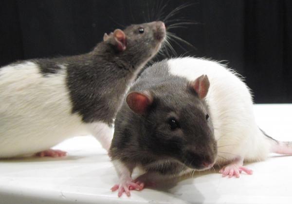 comment faire du poison pour rat fait maison vous avez vu. Black Bedroom Furniture Sets. Home Design Ideas