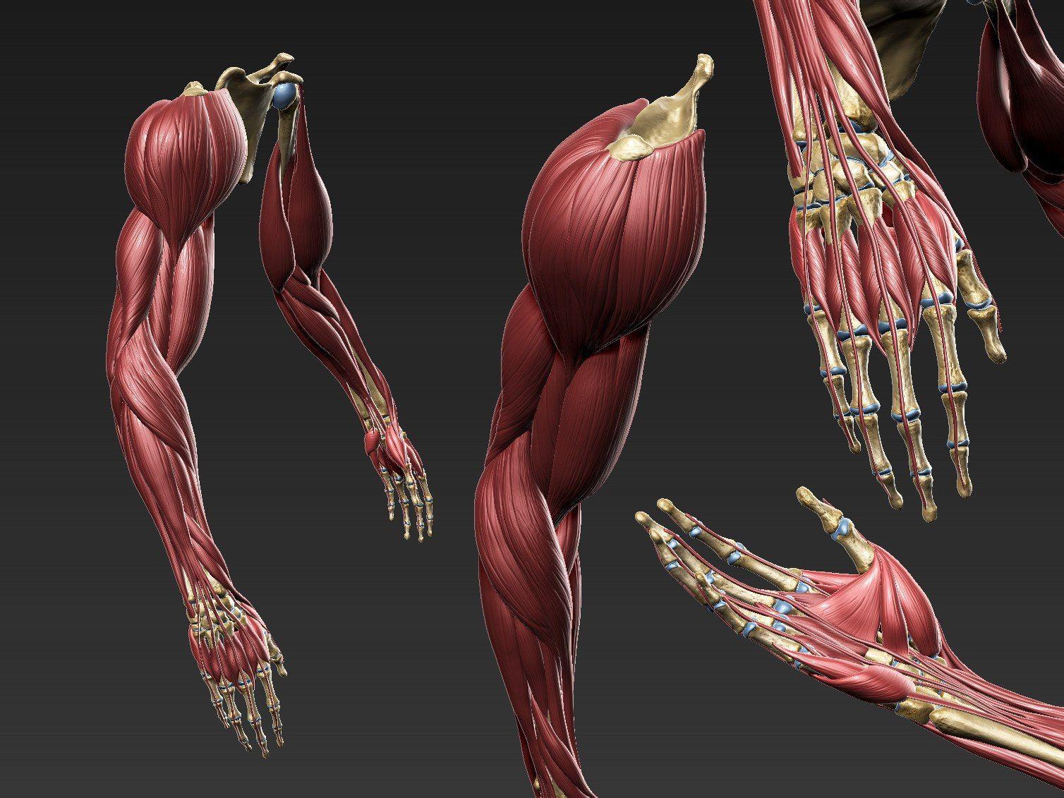 строение руки человека фото так сайте нашего