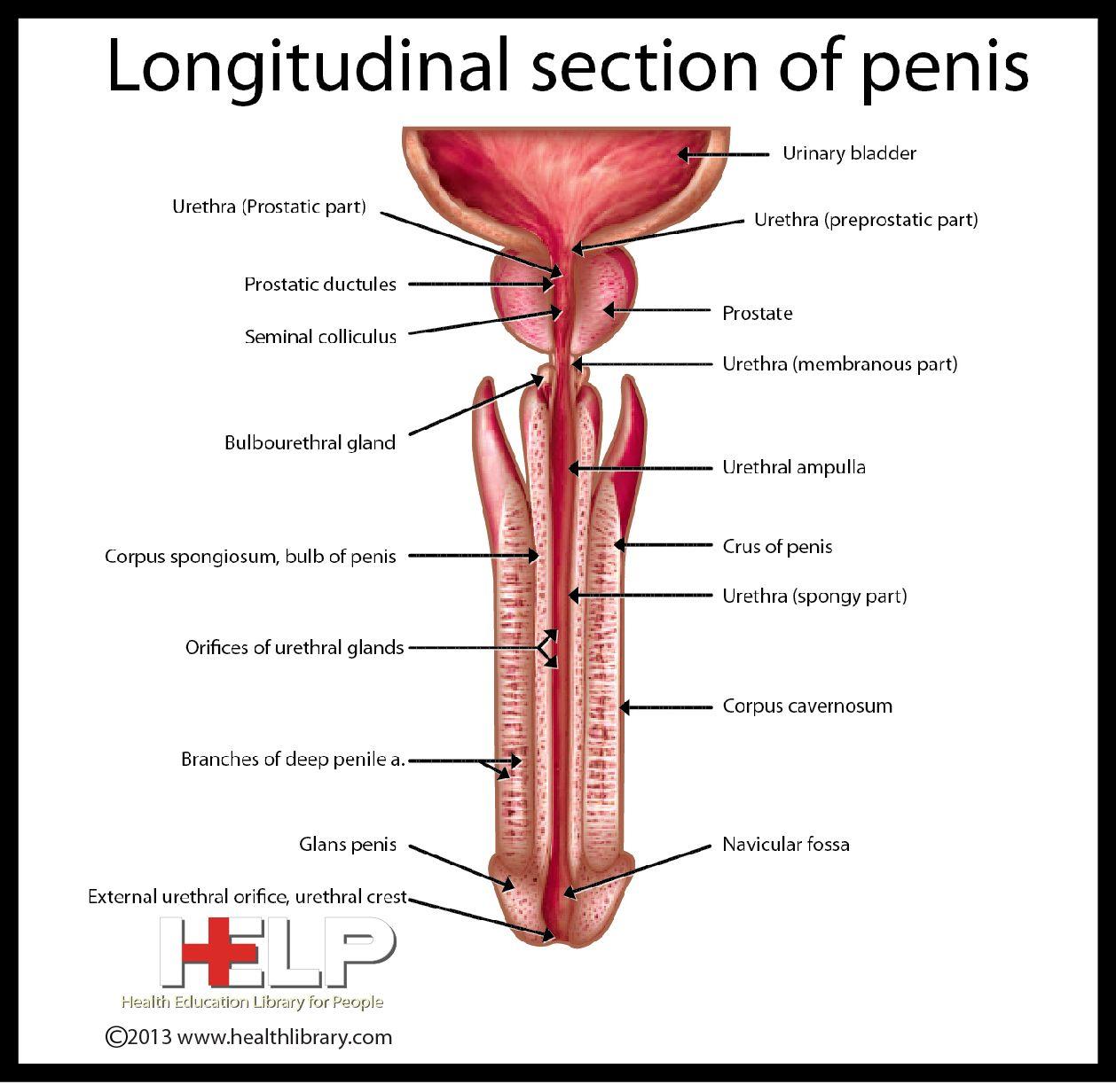 Longitudinal Section Of Penis | Anatomy * | Pinterest | Health diet