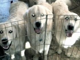 My English Cream Golden Retrievers Dog Breeders Grass Valley Ca Retriever Puppy Dogs Golden Retriever Dog Breeder