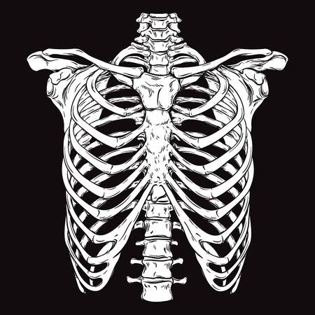 Rib Cage Stock Vector Illustration And Royalty Free Rib Cage Clipart How To Draw Hands Human Rib Cage Rib Cage