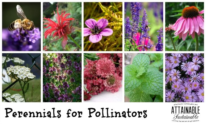 Plant these for the bees gardening pinterest bees perennials 10 perennials to attract bees other pollinators mightylinksfo