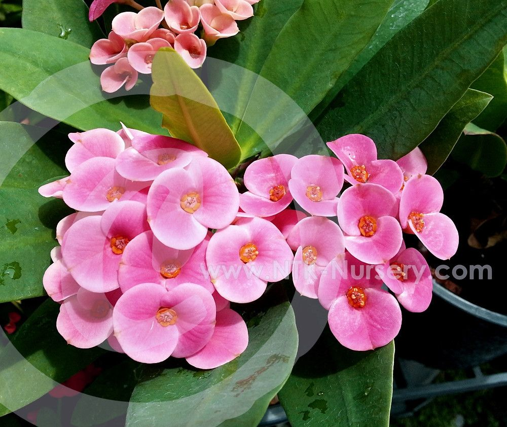 Euphorbia Milii Euphorbia Milii Suppliers And Manufacturers At Alibaba Com Euphorbia Milii Euphorbia Crown Of Thorns