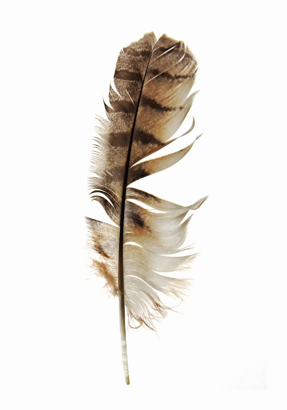 barred owl feather (mary jo hoffman) | STILL on white ...