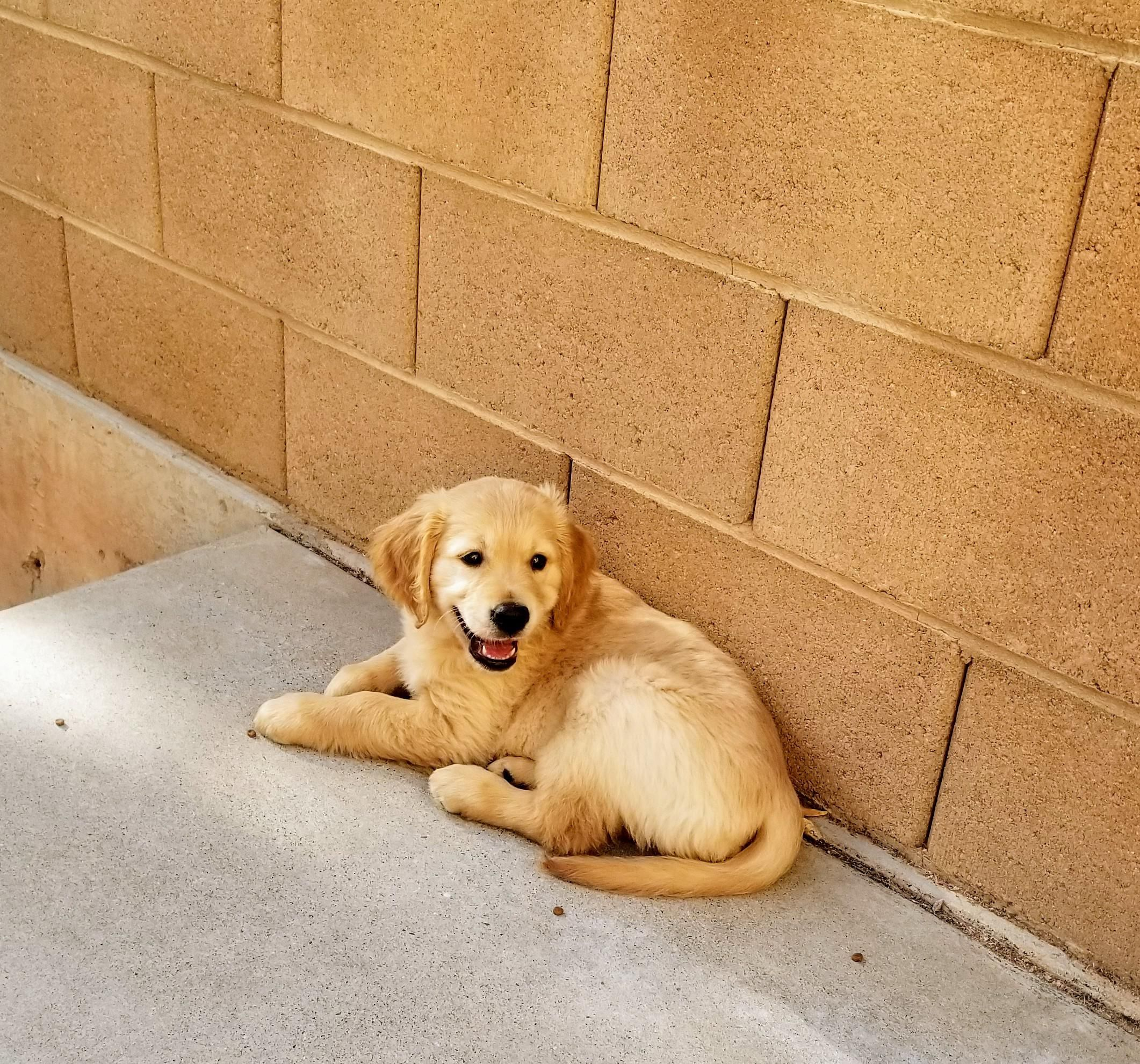 Beautiful Golden Pup Needs A Home Located In Southern California