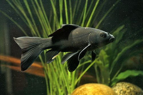 Carp X Goldfish Hybrid Black Goldfish Goldfish Comet Goldfish