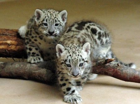 Snow Leopards Cats Wallpaper Id 1357252 Desktop Nexus Animals