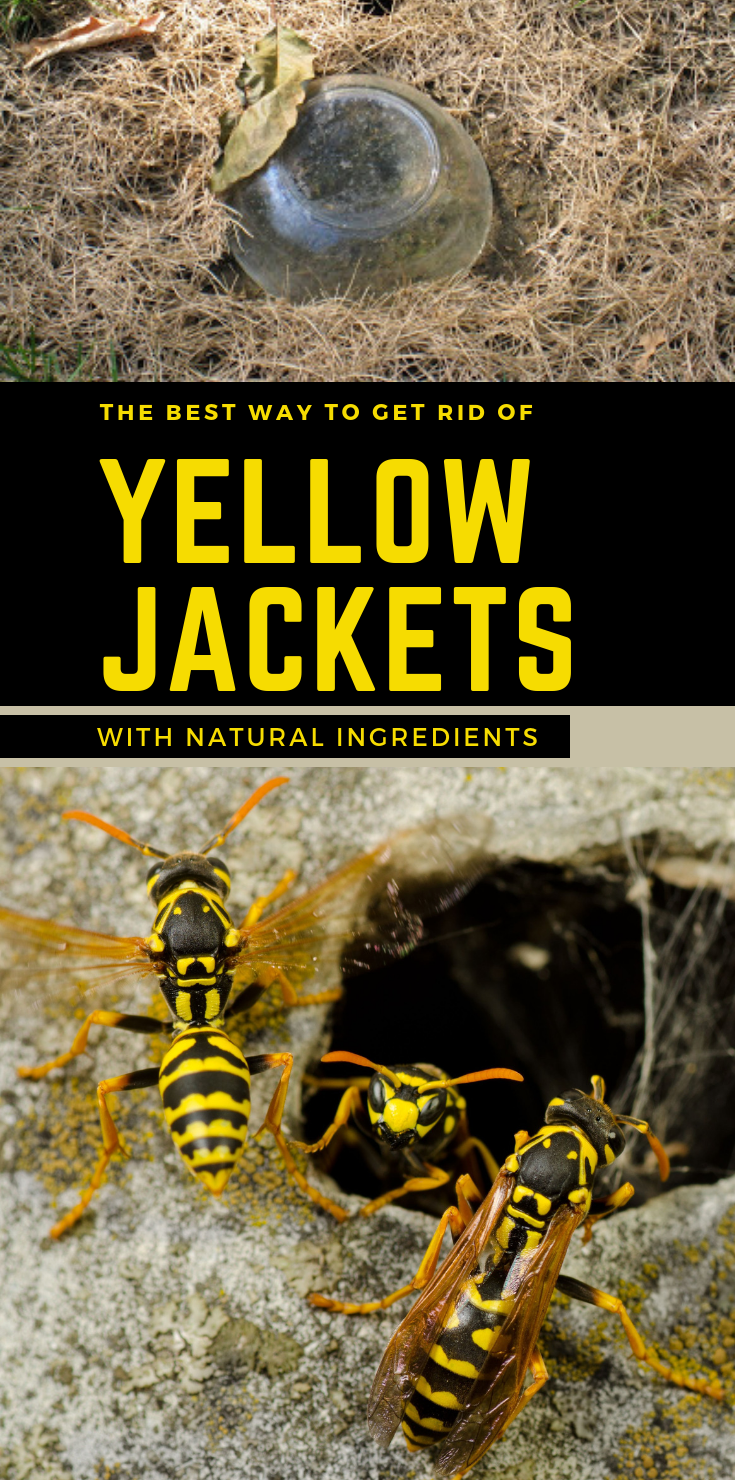 The Best Ways To Get Rid Of Yellow Jackets With Natural Ingredients Gardaholic Net In 2020 Yellow Jacket Yellow Jacket Wasp Yellow Jacket Bee