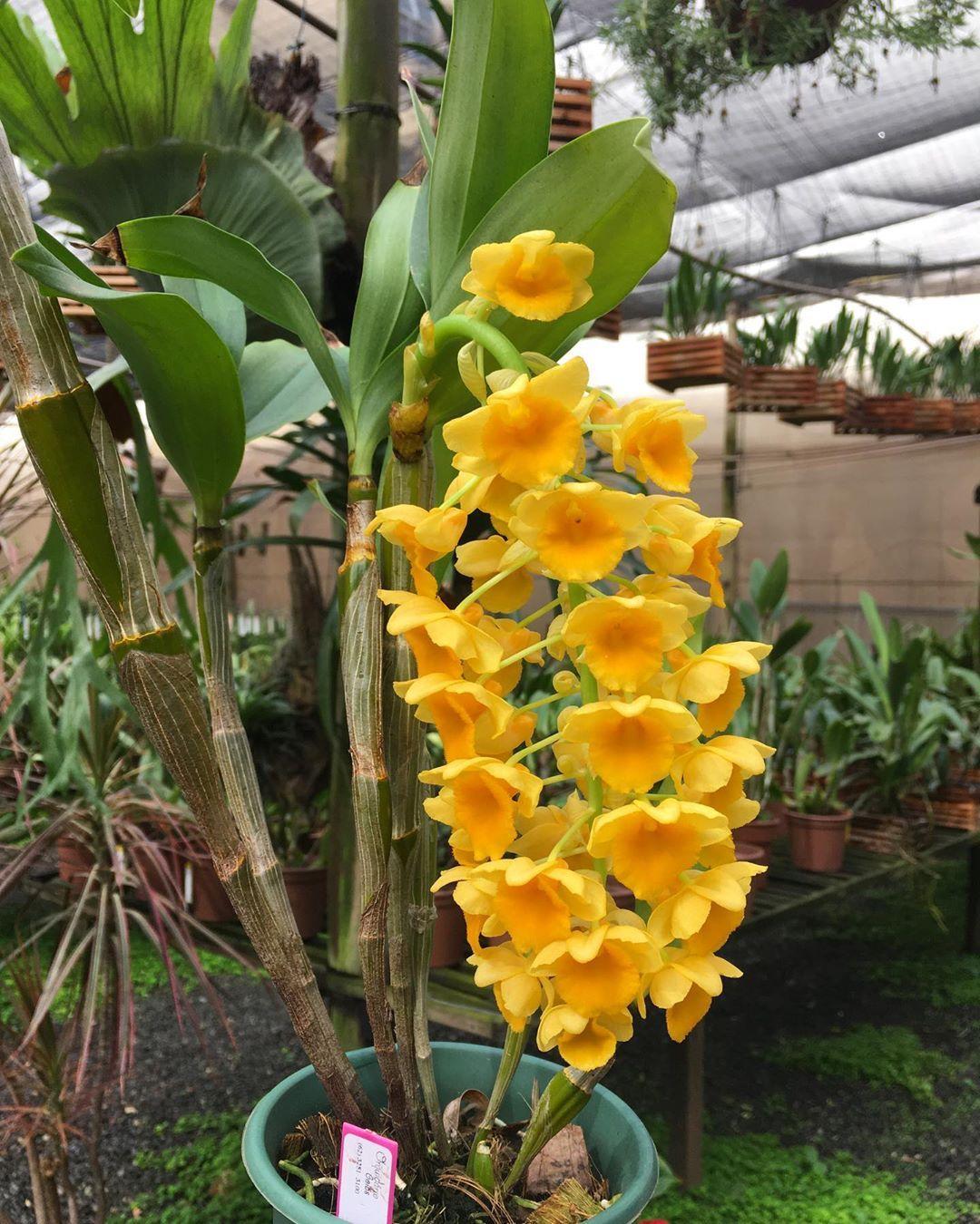 Dendrobium Densiflorum Floracao Exuberante De Um Amarelo Muito Vivo E Intenso Cultivar Orquideas Intenso