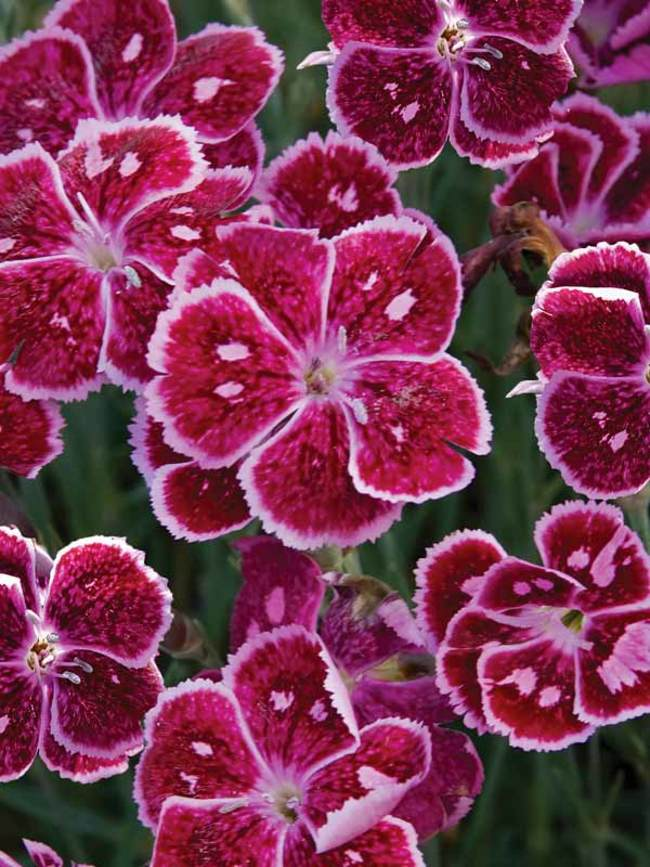 Dianthus Fire And Ice Bluestone Perennials Pink Perennials Flowers Perennials Flowers