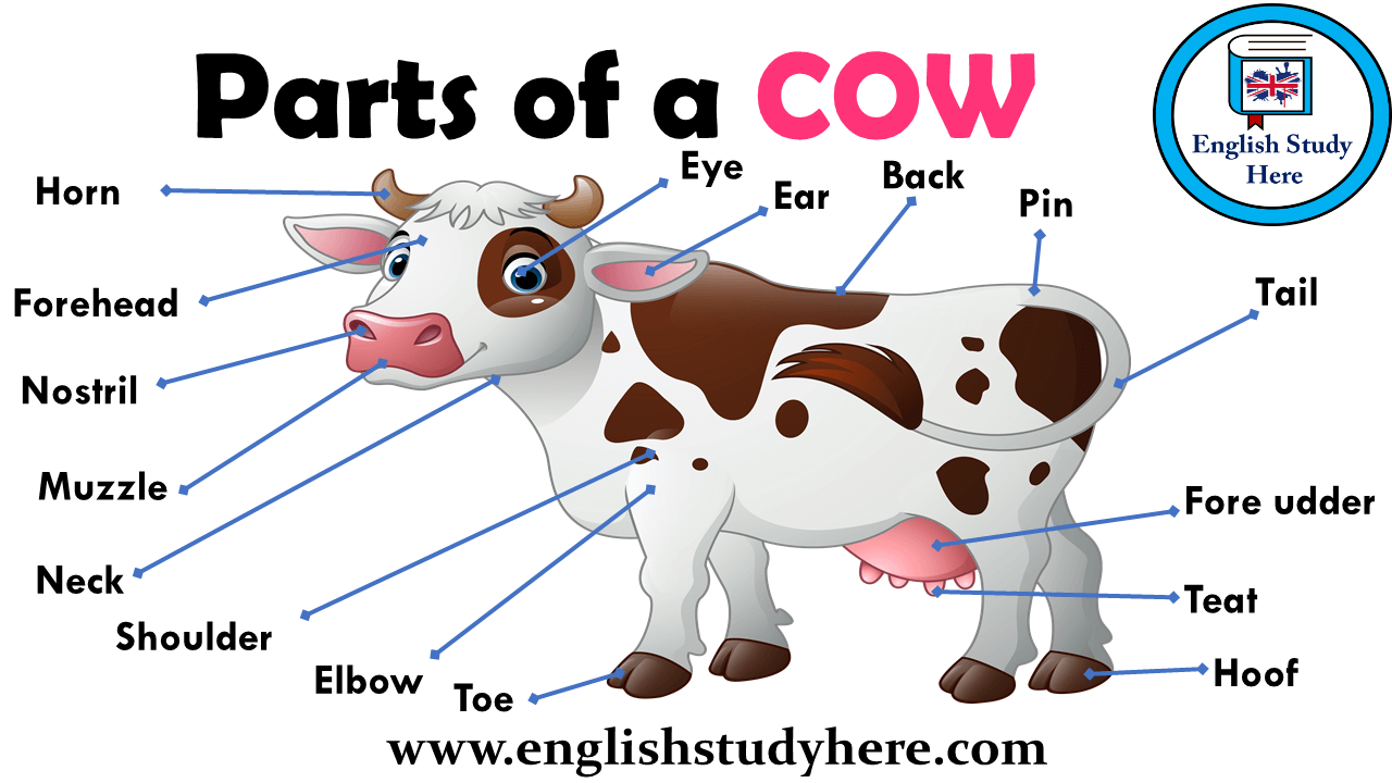 Parts Of A Cow Parts Of A Cow English Study Vocabulary Pictures