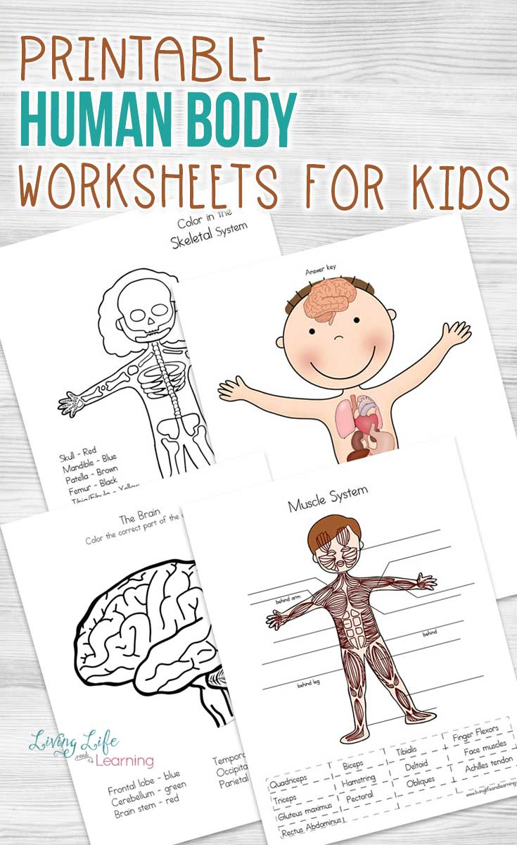 Human Body Worksheets for Kids