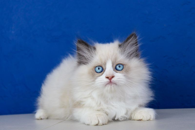 Latest Pictures Ragdoll Cats Tabby Thoughts The Important Weak Ragdoll Is Usually A Lovable Addition To Every In 2020 Ragdoll Kittens For Sale Ragdoll Kitten